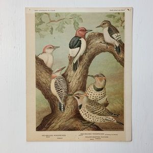 Vintage • Red Bellied Woodpecker Bird Print